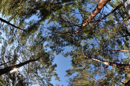 pine tree towards the sky