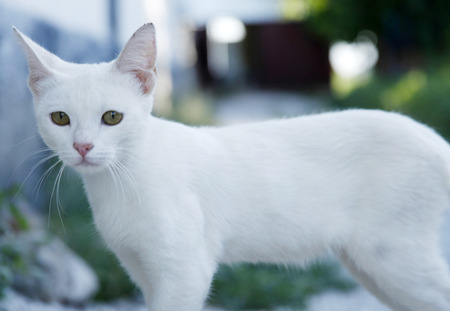 White domestic cat on the street