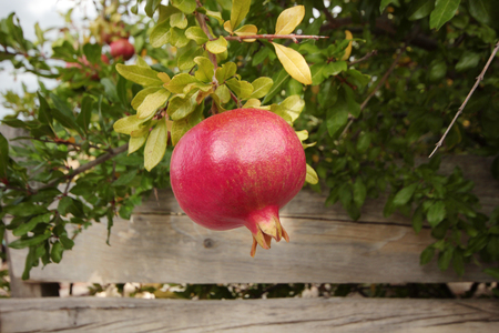 Ripe pomegranates on tree