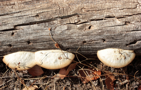 Fungus growing on a tree trunk Banque d'images