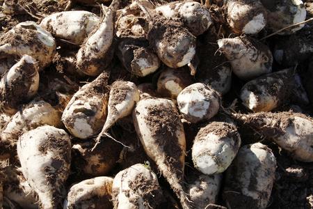 Harvested sugar beet crop root pile Standard-Bild