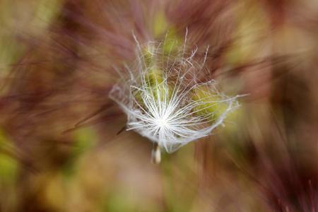dandelion seed in nature