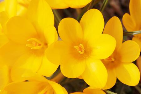 Crocus, Beautiful yellow flower Reklamní fotografie
