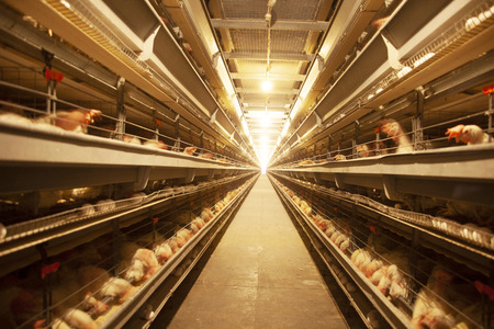 Factory Chicken egg production 写真素材