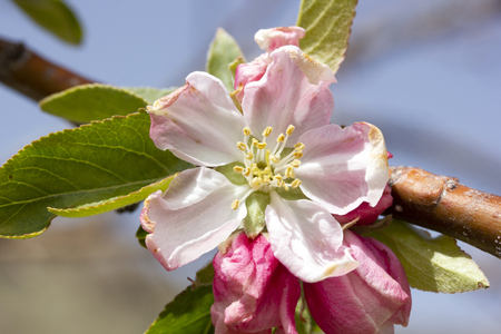 flowering apple tree in spring