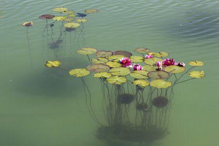 Water Lily Flower - Beautiful Pink Lotus Flower