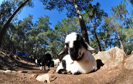 photo of curious goat in nature Stock fotó