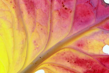 multicolored cabbage leaf in autumn