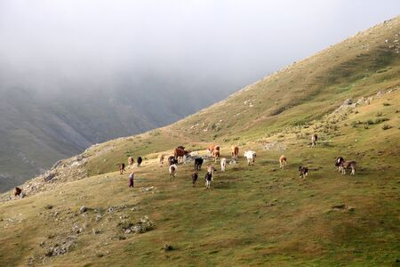shepherd woman grazing cows - foggy weather