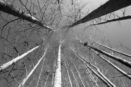 black and white poplar tree Фото со стока
