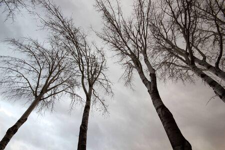 dry poplar tree on a winter day