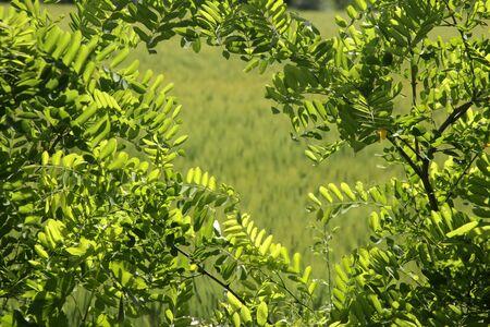 Acacia tree green leaves - Natural background Фото со стока