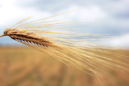 picture of golden wheat in countryside Standard-Bild