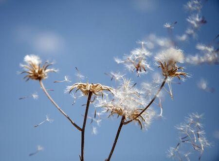 Flying dandelion seeds,  macro abstract
