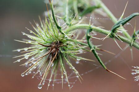 Burdock (Arctium minus),  waterdrops and spider web