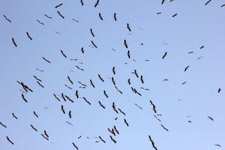flock of storks migrating in autumn