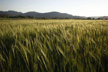 Green Wheat Growing In A Field
