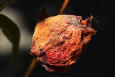 Rotting apple on a branch. Foto de archivo