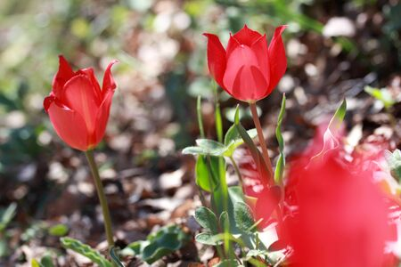 original red mountain tulips in nature