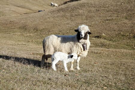 lamb and sheep in the countryside