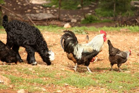 Free range chickens and roosters. Goat.