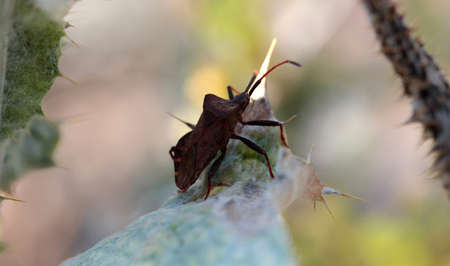 Weevil beetle on thorn. Nature background.