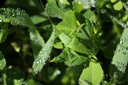 Raindrops, green leaves and the mantis