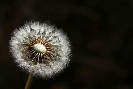 Plants close-up. Dandelion detail macro bloom.