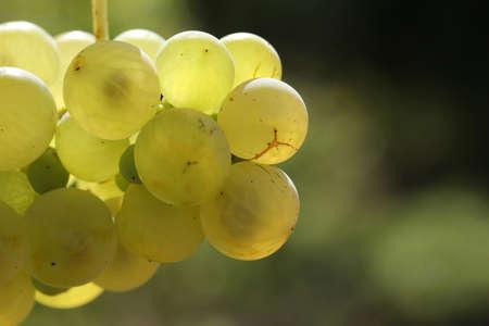 Ripe natural white grapes in autumn