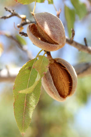 ripe almonds on the branch Banque d'images