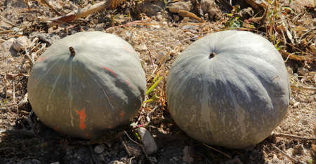 Organic ripe pumpkins at harvest time