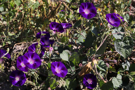 Morning Glory Flower. Beautiful wallpapers. Banque d'images
