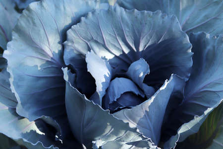Red cabbage in garden, close up Banque d'images