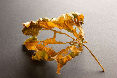dry leaf on black background Archivio Fotografico