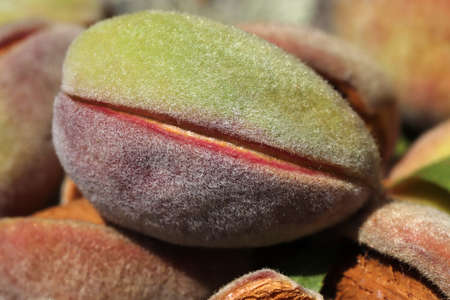 Harvest of almonds. Healthy foods. Banque d'images