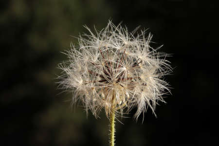 Dandelion seeds in nature. Nature background. 免版税图像