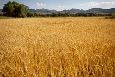 Farming. Wheat field in summer.