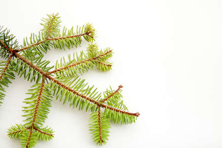 fir tree branch on a white background