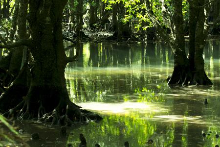 mangrove: Iriomote mangrove