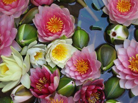 Water Lilies in Vienna, Austria