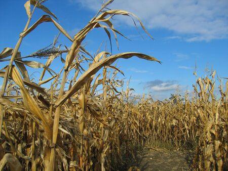 옥수수 미로와 푸른 하늘 (미시간) 스톡 콘텐츠