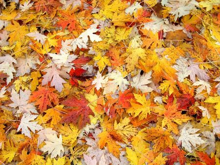 Beautiful fall leaves raked into a heap in Michigan