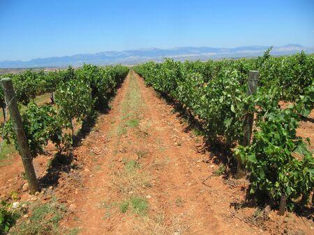 라 리오하 (La Rioja)의 포도원, 스페인의 가장 큰 와인 생산 지역 (Navarrete 마을 근처)