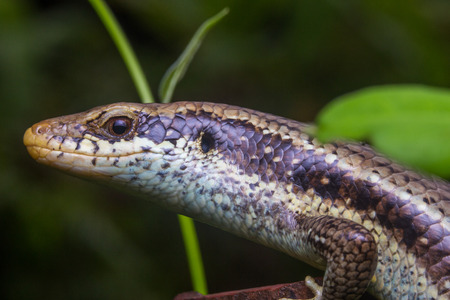Close-up skink or lizard from side angle. Reptile
