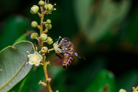 apis: macro close up of a female stingless honey bee on leafs and flowers, a summer and sunny day Stock Photo