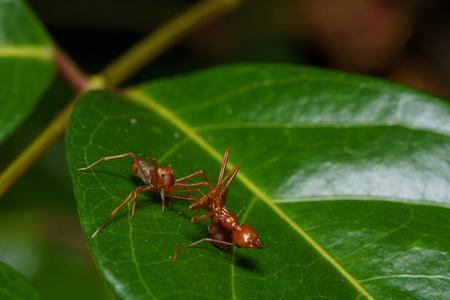 Close up macro of a female Kerengga ant-like jumper (Myrmaplata plataleoides) eats weaver ant  (genus Oecophylla). Selective focus.