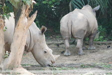 A group of The white rhinoceros or square-lipped rhinoceros (Ceratotherium simum). They are the largest extant species of rhinoceros. Stock Photo
