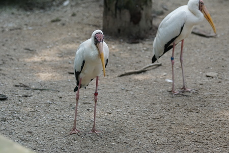Wilderness of milky stork on wood branch of trees