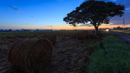 Rolls of paddy straw with golden sunset background at Sungai Besar, Selangor, Malaysia. The paddy straws are made into rolls and recycled for various usage as side product of paddy field.