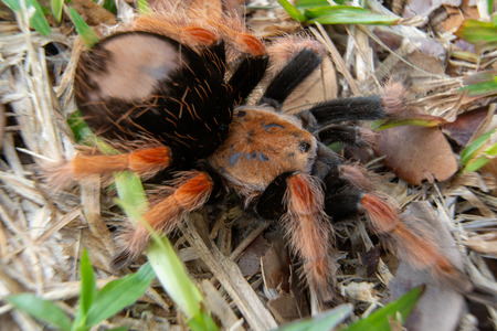 Mexican Fireleg (Brachypelma boehmei) the beautiful tarantula stays on ground and grass, nature background. Selective focus. Фото со стока
